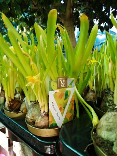 Narcissus - Νάρκισσος