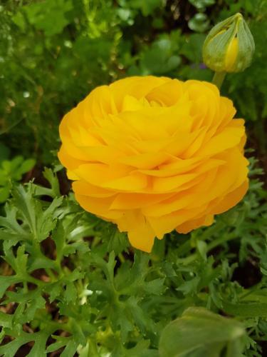 Ranunculus - Βατράχια