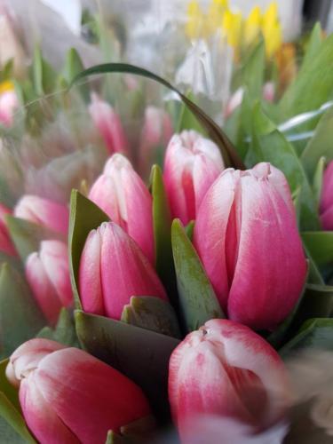 Tulips -Τουλίπα