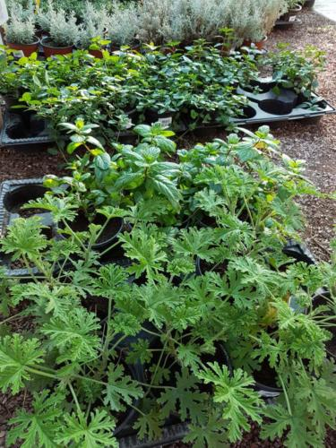 Herbs - Αρωματικά φυτά