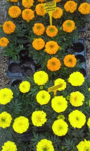 Marigold - Κατηφέδες