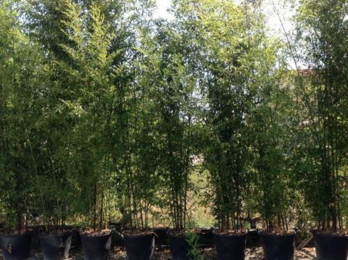 Bambusa (Phyllostachys)