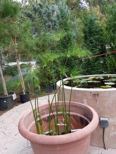 Cyperus Papyrus - Παπιρος