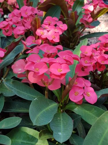 Euphorbia milii - Έρωτας