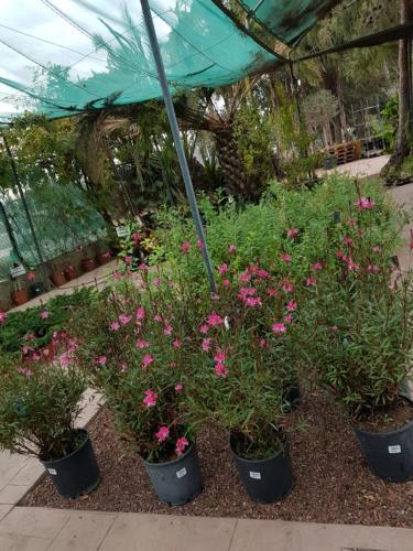 Gaura plant - Γκάουρα