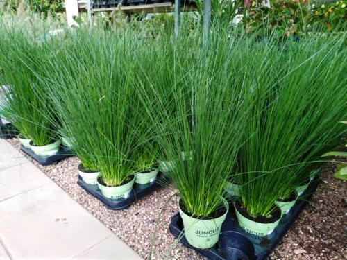 Juncus Pencil Grass