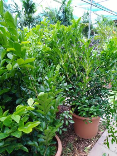 Murayia paniculata