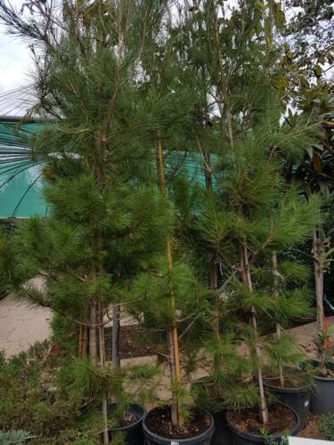 Pinus - Πευκος