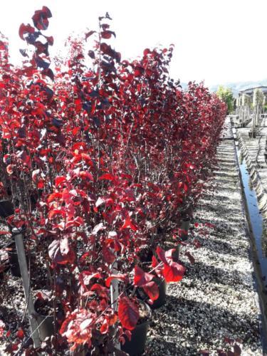 Prunus Pisardii nigra