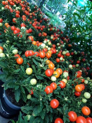 Solanum-2