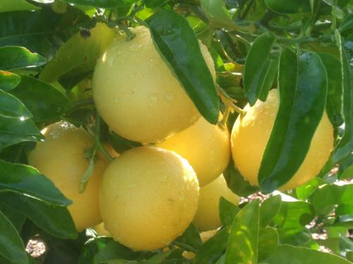 Citrus Paradisi- Γκρειπφρουτ
