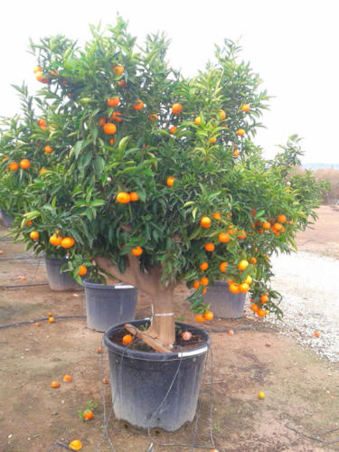Citrus Reticulata – Μανταρινιά Αρακαπά