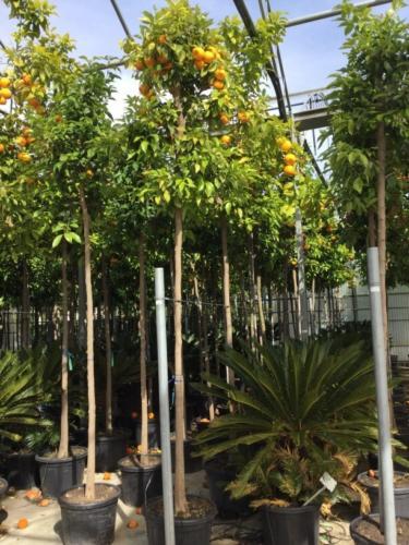 Citrus aurantium - Νερατζιά ή Κιτρομηλιά