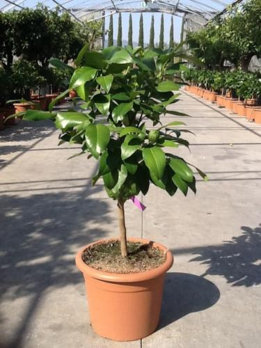 Citrus bergamina - Περγαμόντο