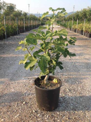 Ficus carica-Συκιά
