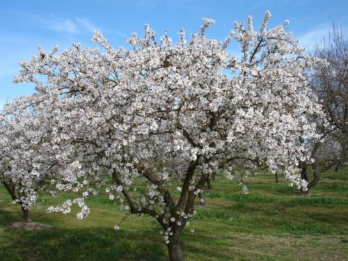Prunus amygdalus - Αμυδγαλιά