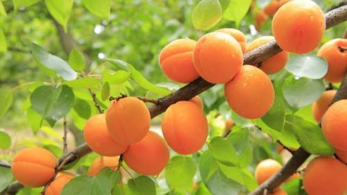 Prunus armeniaca -  Βερυκοκιά