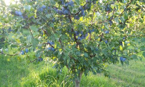 Prunus domestica2 – Δαμασκηνιά