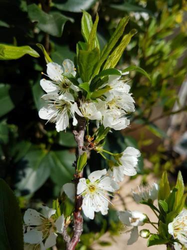 Prunus domestica - Φορμόζα
