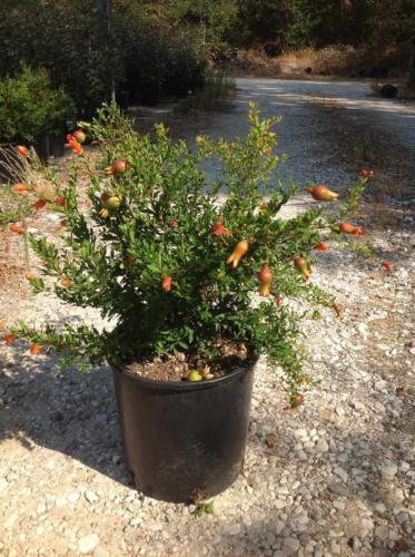 Punica granatum – Ροδιά