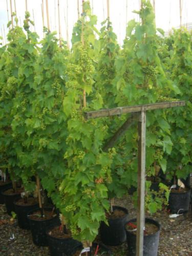 Vitis vinifera – Κλήμα