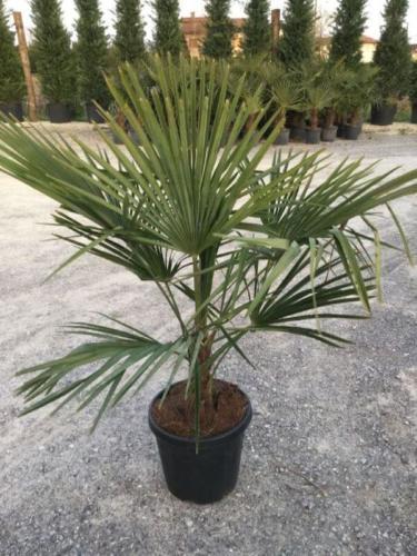 Chamaerops (trachycarpus)