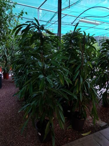 Ficus amstel king - Φίκος