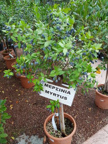 Myrtus - Μερσινιά