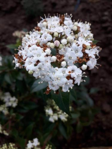 Viburnum tinus - Βιβουρνο