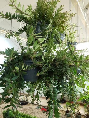 Aeschynanthus hanging