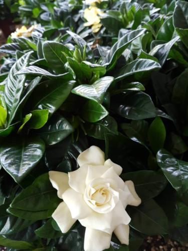 Gardenia - Γαρδένια