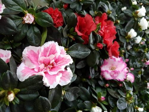 Rhododendron - Αζαλέα