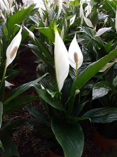 Spathiphyllum - Σπαθίφυλλο